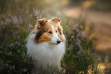 Red Dog In The Woods. Fluffy Sheltie In Nature
