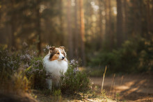 Red Dog In The Woods. Fluffy S...