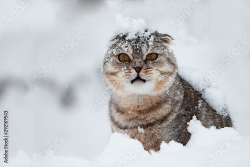 Vászonkép Disgruntled cat under the snow