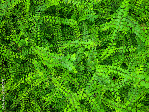 Photo Green leave ivy covered concrete wall texture background