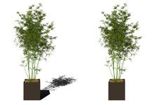 Potted Alphonse Karr Bamboo