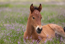 Cute Wild Horse Foal In Utah I...
