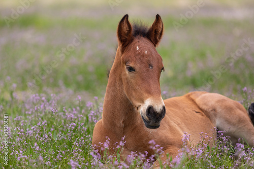 Fototapeta Cute Wild Horse Foal in Utah in Spring obraz