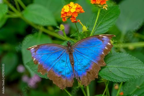 Deurstickers Vlinder Blue Morpho, Morpho peleides, big butterfly sitting on green leaves, beautiful insect in the nature habitat