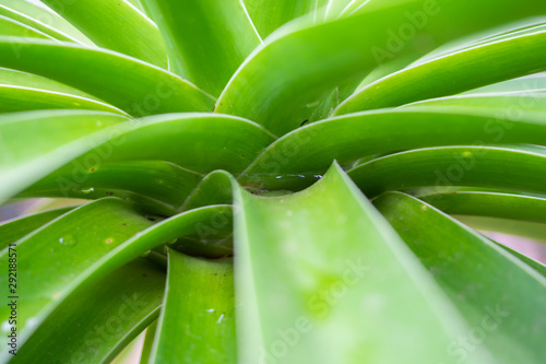 Valokuva  Stagnant water in green Dracaena loureiri leaf