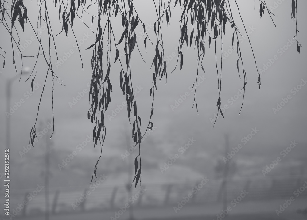 Fototapeta Black and white, gray background of weeping willow tree branches with leaves and droplets on them and a blurry foggy city view