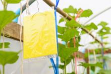 Trap Of Insect / Yellow Glue Board Trap