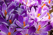 canvas print picture - Floral background of crocus in full flower in spring.  Taken in Cardiff, South Wales, UK