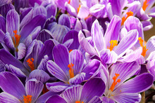 Floral Background Of Crocus In Full Flower In Spring.  Taken In Cardiff, South Wales, UK