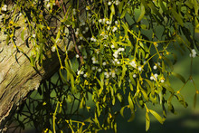 Mistletoe (viscum Album) Growing On An Apple Tree In An Orchard With White Berries.  Taken In England, UK