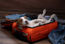 Dog Travel. Jack Russell Terrier With A Suitcase, Going On A Trip.