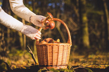 Picking Porcini Mushroom In Forest. Wicker Basket Full Of Harvested Mushrooms