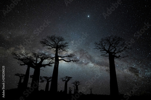 Fotografie, Obraz Milky Way at Avenue of the Baobabs