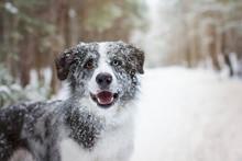 Snowy Border Collie