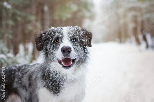 Canvas Snowy border collie