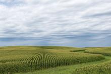 A Green Field Of Corn In Easte...
