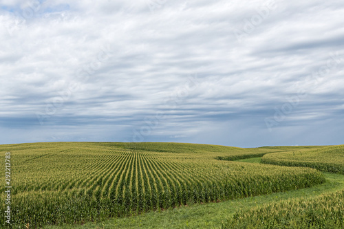 Photo A green field of corn in eastern Iowa on a summer day.