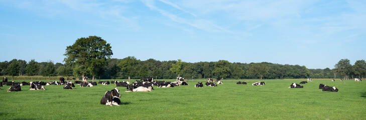 black and white holstein cows in meadow with trees in province of utrecht in the netherlands