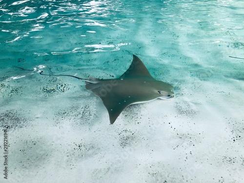 Fototapeta Manta Ray Swimming in Water