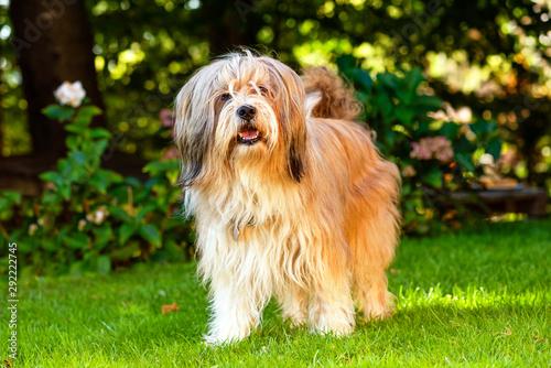 Obraz Beautiful Tibetan terrier dog standing on a sunny grass - fototapety do salonu