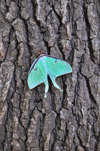 The Luna Moth Is A Nearctic Mo...