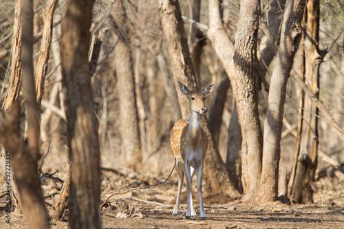 Spoed Fotobehang Ree Spotted deer in Gir National park