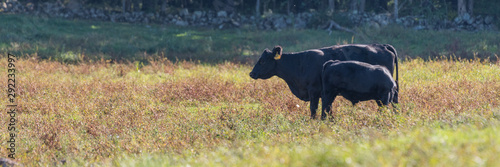 Canvas Print Panorama of black cow and calf in a field on late summer afternoon