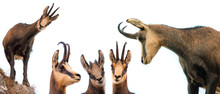 Set Of Wild Chamois Goat Isola...