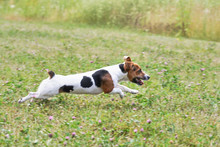 Small Jack Russell Terrier Running Fast On Grass Meadow With Small Pink Flowers, View From Side