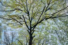 Northern Red Oak, Blue Heron Nature Preserve, Atlanta, Georgia