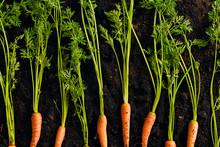 Carrots On Dark Soil Backgroun...
