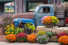 Old Blue Truck Surrounded By Fall Mums