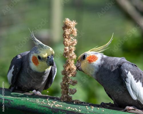 Fotografie, Tablou  A Pair of Cockatiel's Feeding on Millet