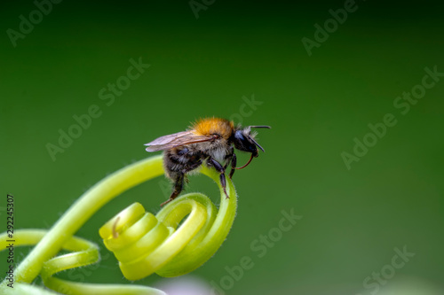 Beautiful Bee macro in green nature - Stock Image