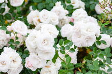 Closeup Image Of Beautiful Flowers Background With Amazing White Roses.