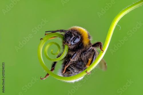 La pose en embrasure Papillon Beautiful Bee macro in green nature - Stock Image