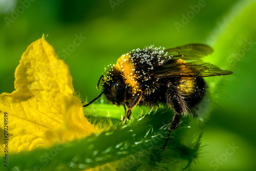 Fond de hotte en verre imprimé Papillon Beautiful Bee macro in green nature - Stock Image