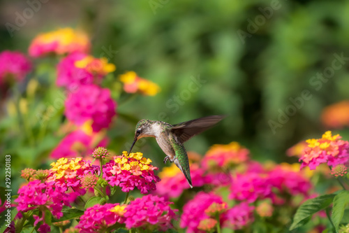 Fotografie, Obraz Ruby-throated hummingbird feeding at lantana flowers