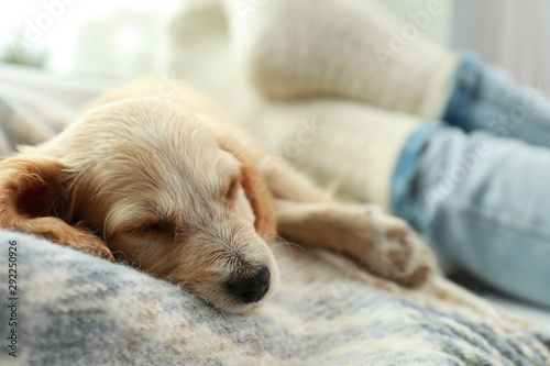 Obraz Cute English Cocker Spaniel puppy sleeping on blanket near owner indoors, closeup - fototapety do salonu