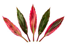T Plant Or Cordyline Fruticosa Leaves Isolated On White Background.