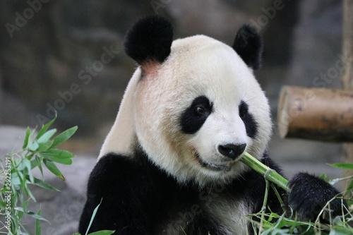 Recess Fitting Panda Beautiful Fluffy Panda in Shanghai while Eating Bamboo, China