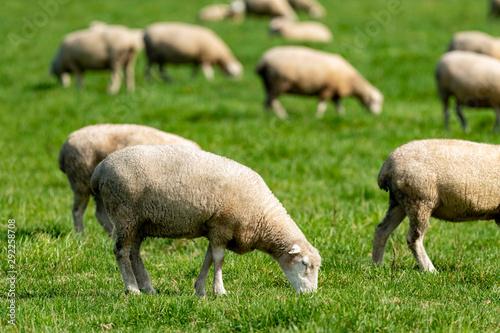 Leinwand Poster 放牧中の羊