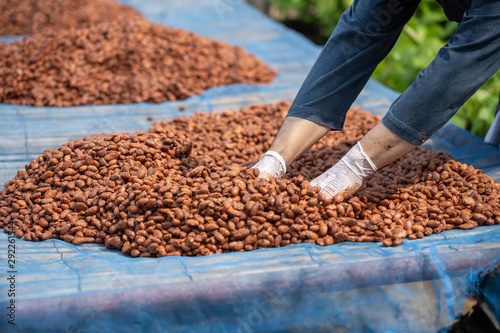 Pinturas sobre lienzo  Cocoa beans, or cacao beans being dried on a drying platform after being ferment