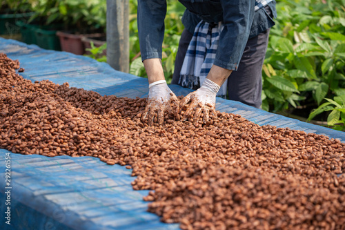 Fotografía  Cocoa beans, or cacao beans being dried on a drying platform after being ferment