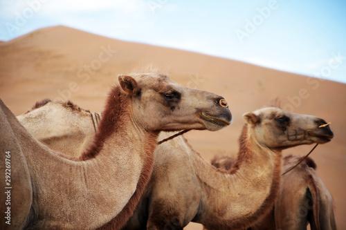 Spoed Fotobehang Kameel desert, camel