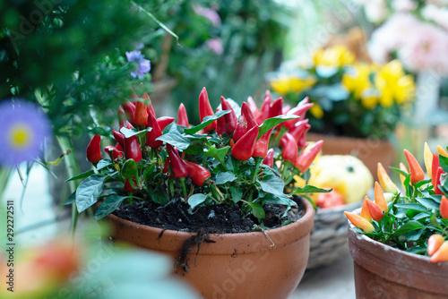 red hot pepper in a pot Canvas Print