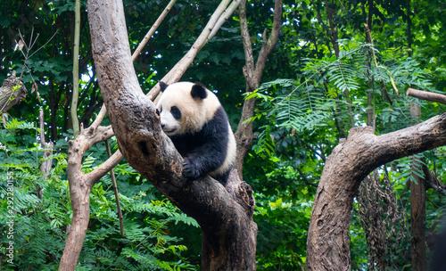 Panda in a nature reserve in China