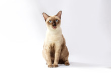 Siamese Cat  Are Sitting On White Background. Portrait Of Thai Cat With Blue Eyes Is Sitting On White Background.