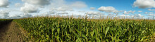 Field With Corn Stalks Against A Blue Sky On A Summer Day