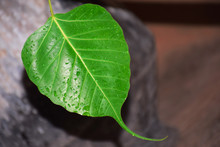 Rain Drops On Ficus Leaves Closeup With Dark And Blur Background